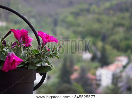 Petunia,petunia In The Garden,petunia In A Pot,petunia And Blurred Background,close Up Of Petunia Fl