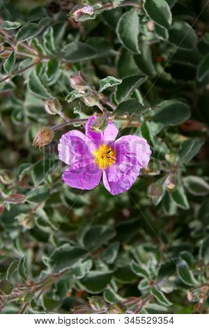 Insects That Pollinates Cistus Incanus, A Spontaneous Plant Of The Mediterranean Maquis. During The