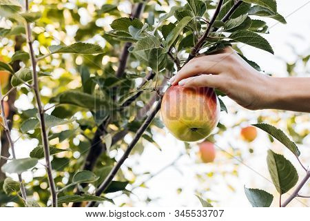Female Hand Holds Beautiful Tasty Red Apple On Branch Of Apple Tree In Orchard, Harvestingfor Food O