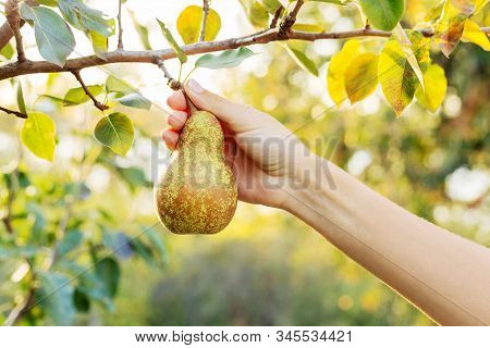 Female Hand Holds Fresh Juicy Tasty Ripe Pear On Branch Of Pear Tree In Orchard For Food Or Pear Jui