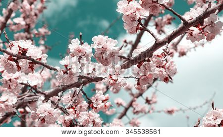 Spring Flower Landscape. Spring Blooming Spring Flowers Against Blue Sunny Sky. White Flowers In Spr