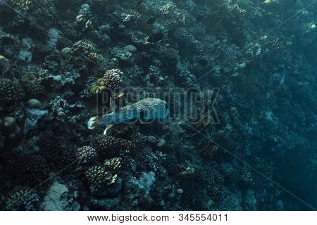 Diodon Hystrix Underwater In The Ocean Of Egypt, Underwater In The Ocean Of Egypt, Common Porcupinef