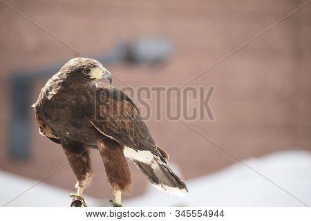 Harris Hawk On An Ornithology Show At A Medievals Market