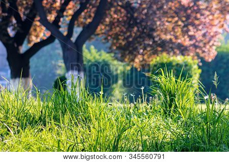 Fresh Tall Grass Among The Trees In The Park. Great Sunny Morning Weather. Wonderful Outdoors With B