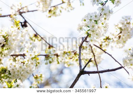 White Blossom Of Apple Tree. Tiny Flowering In The Twigs In Sunlight. Spring Season In The Garden. B