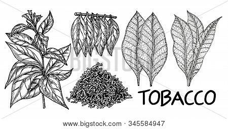 Tobacco Tree Hand Drawing Vintage Style. Tobacco Plant Leaf Illustration, Drawing, Engraving, Ink, V
