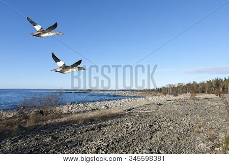 A Flock Of Goosanders Fly Along The Coast. Rock, Cliffs And Stones Along The Shore, Bushy.