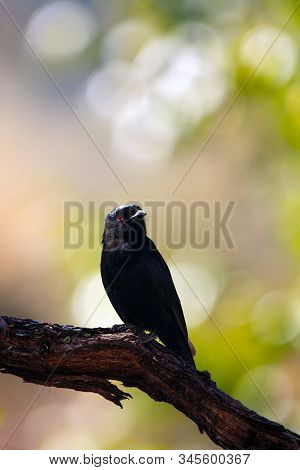 The Common Square-tailed Drongo (dicrurus Ludwigii), Formerly The Square-tailed Drongo Sitting On A