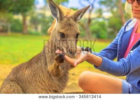 Woman Feeding Kangaroo From Hand Outdoor. Encounter With Australian Marsupial Animal In Australia. P