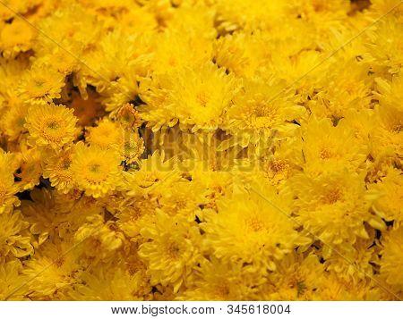 Yellow Gerbera , Barberton Daisy Flower On Bush Background