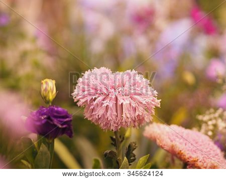 Pink Daisy Flower On Bush Blurred Of Nature Background Space For Copy Write