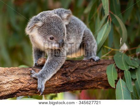 Koala Joey Walks On A Tree Branch With Eucalyptus Leaves Shown In The Background