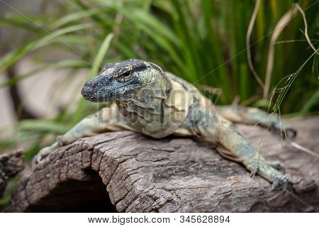 Lace Monitor Rests On A Dead Log