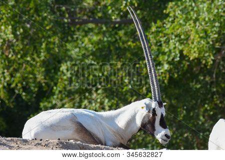 An Arabian Oryx (oryx Leucoryx)  Critically Endangered Resident Of The Arabian Gulf Sits On A Rock B