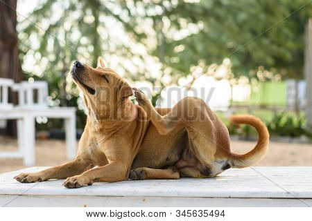 Brown Dog Is Scratching On White Table
