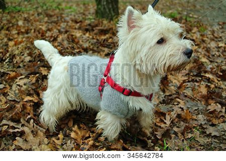 White West Highland Terrier On A Walk