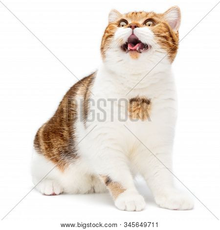 British Cat Sitting With Open Mouth Isolated On White Background. Young Shorthair Cat Sitting Looks
