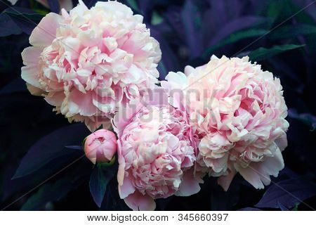 Beautiful Pink Peony Background In Vintage Style. Beautiful Flowers, Peonies. A Bouquet Of Pink Pawn