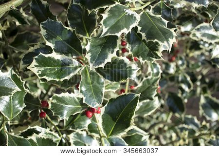 Close Up Image Of Leaves And Berries Of A Holly Bush. Perfect For Background Use