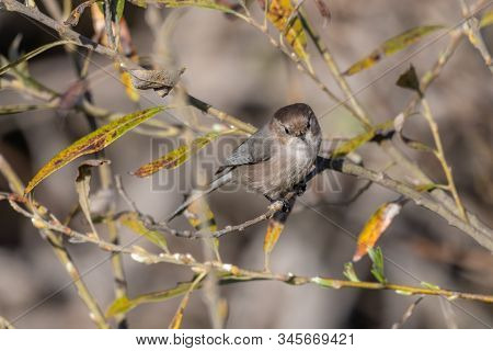 Watchful Male Bushtit With Dark Eyes Perched On Bush Branch Looking Straight Ahead For Danger.