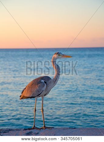 Gray heron fishing at sunset on the beach