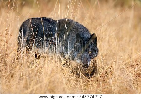 The Northwestern Wolf (canis Lupus Occidentalis) Standing On  The Meadow. The Wolf (canis Lupus), Al