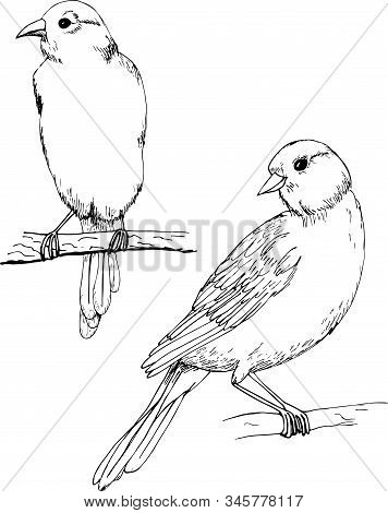Canary Vector Monochrome Freehand Ink Drawn Sketch Style Illustration