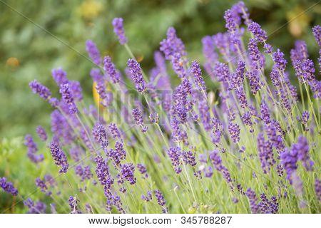 Blooming Lavender (lavandula Angustifolia) Natural Floral Background