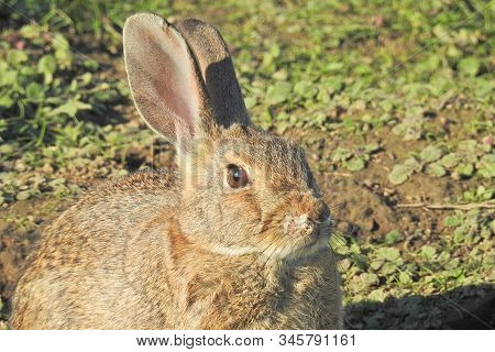 Cottontail Rabbit Enjoying A Sunny Day In The Merced National Wildlife Refuge, Northern San Joaquin