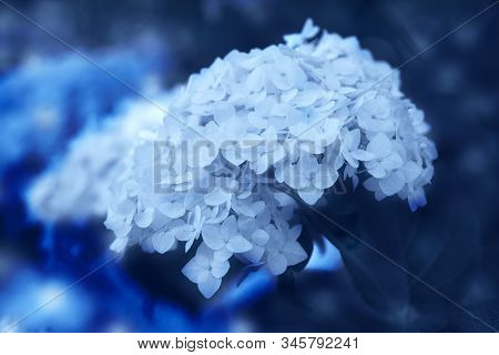 Hydrangea Flower On A Background Close-up, Classic, Blue, Monochrome, Tone