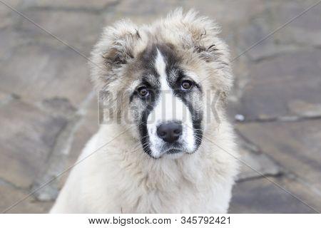 Cute Caucasian Shepherd Puppy. Caucasian Shepherd Dog Is 4 Month.