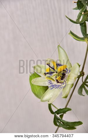 Escape With A Flower And A Bud Of Passionflower On A Light Background.
