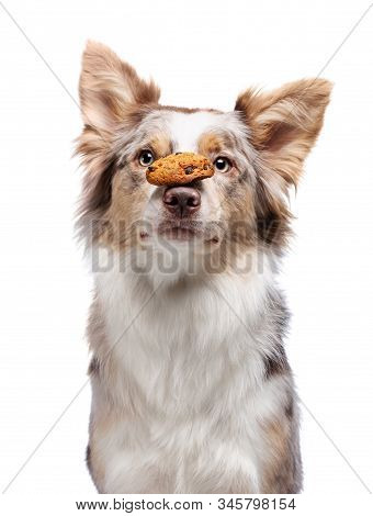 The Dog Holds Cookies On His Nose. Pet On A White Background. Funny Border Collie