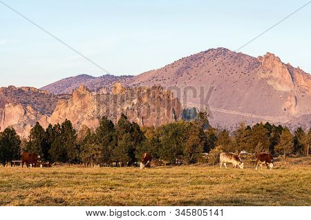 A Group Of Cows Grazing At Sunset With Smith Rock State Park In The Background In Terrebonne, Oregon