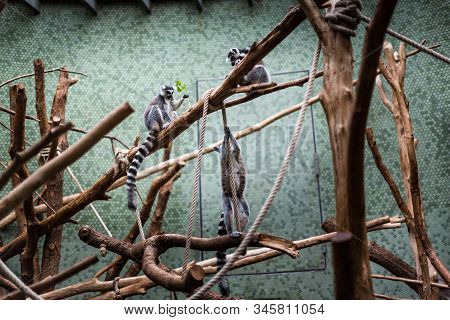 Ring-tailed Lemur Lemur Catta Looks Out Jumping Playing Zoo Enclosure Pet Fluffy Monkey Watching Pla