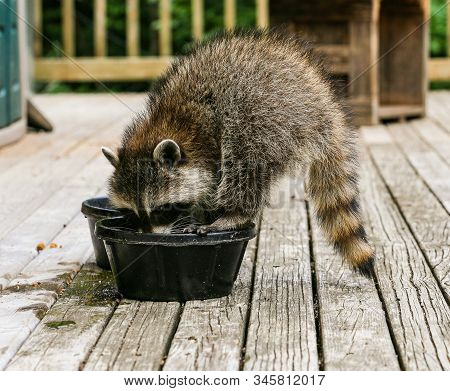 Baby Raccoon Standing On Rim Of Water Bowl To Get A Drink On A Warm Summer Afternoon.