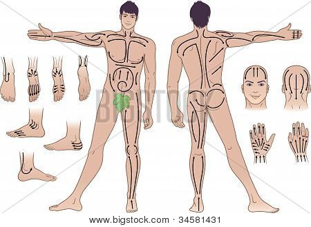 Full length (front & back) views of a standing naked man with massaging lines isolated on white background poster