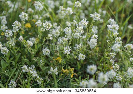 White Flowers Of  Lobularia Maritima In Beautiful Spring, Sweet  White Alyssum