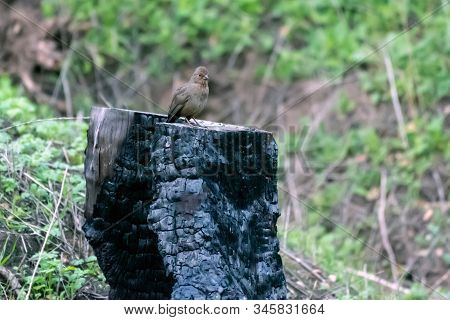 Phoebe Bird Perched On Charred Tree Stump In Forrest While Remaining Alert To Danger.