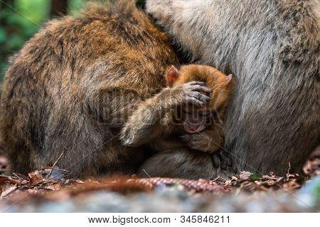 Monkey Family At Sacred Monkey Forest Germany Close Up Monkey Baby Monkey Cute Fluffy Kid Young