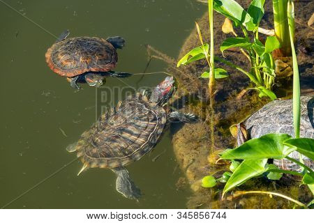 Two Red-eared Turtles Swim Near The Shore Of The Pond. Red-eared Slider, Trachemys Scripta Elegans,