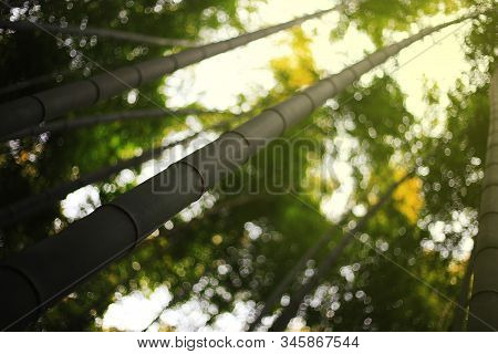 Selective Focus Bamboo Trunk Shooting Into The Sky With Bamboo Forest Background. Eco Friendly Bambo