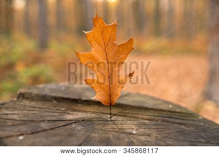 Wood Stub At The Meadow With Blurred Autumnal Forest Background. Old Stub In Autumn Park With Yellow