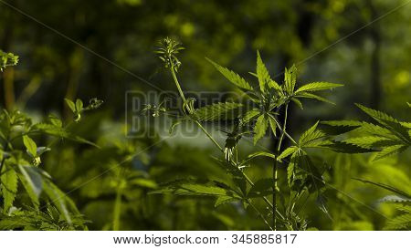 Openwork Sheet Of Hemp.a Branch Of Hemp In The Sun.medicinal Herb Of The Southern Region.a Green, La