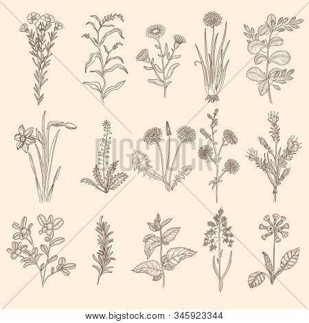 Medical Herbs Sketch. Botanical Floral Therapy Natural Plants With Leaves Vector Flowers Collection.
