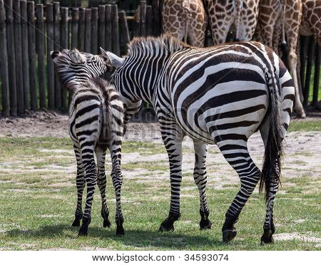 Baby Zebra Whispers Sweet Nothings Into Mama's Ear