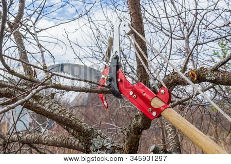 Pruner And Garden Saw For Cutting Branches Of Cherry Bush Overgrown With Lichen. Pruning Of Fruit Tr