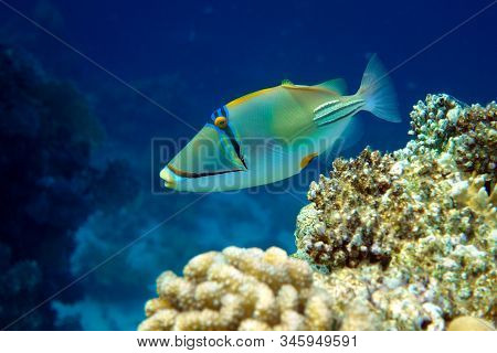 Picasso Triggerfish (rhinecanthus Aculeatus) , Coral Fish On The Coral Reef.
