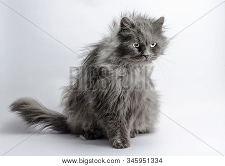 Shaggy Angry Gray Adult Big Fluffy Cat On A Light Background