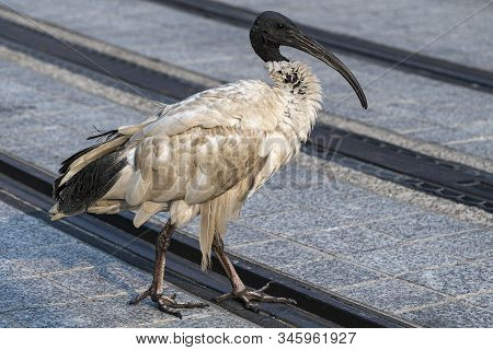 White Ibis In Early Morning Sunshine In Sydney